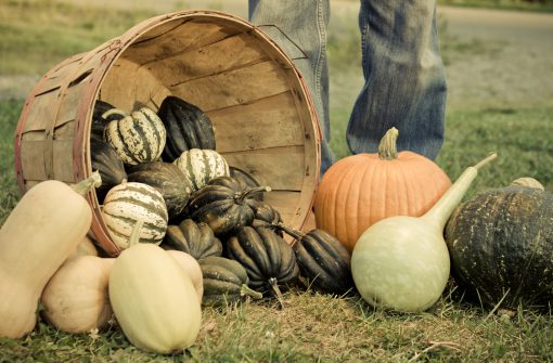 Autumn Harvest of Several Varieties of Winter Squash, Spilling From a Bushel Basket.