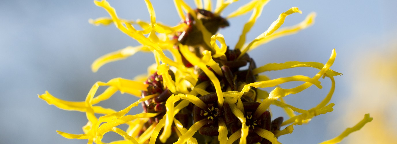 Hamamelis or witch hazel in bloom in the Netherlands.