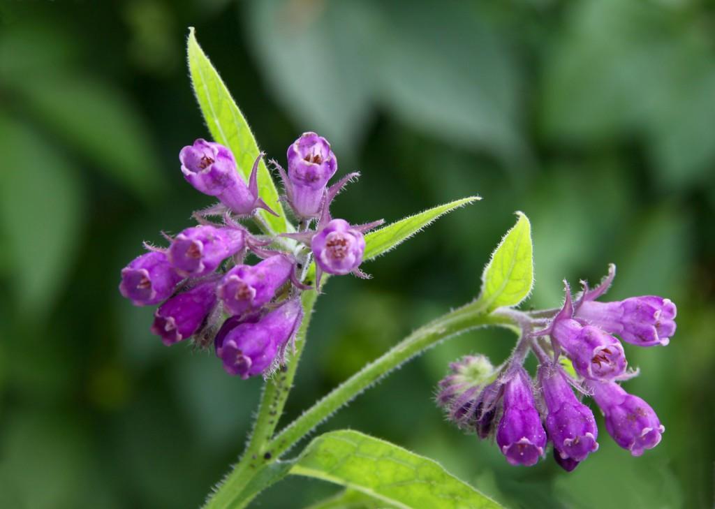 Purple comfrey plant up close