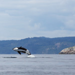 Jumping orca whale between the Islands off the cost of Vancouver