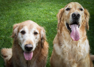 Image of two golden retrievers