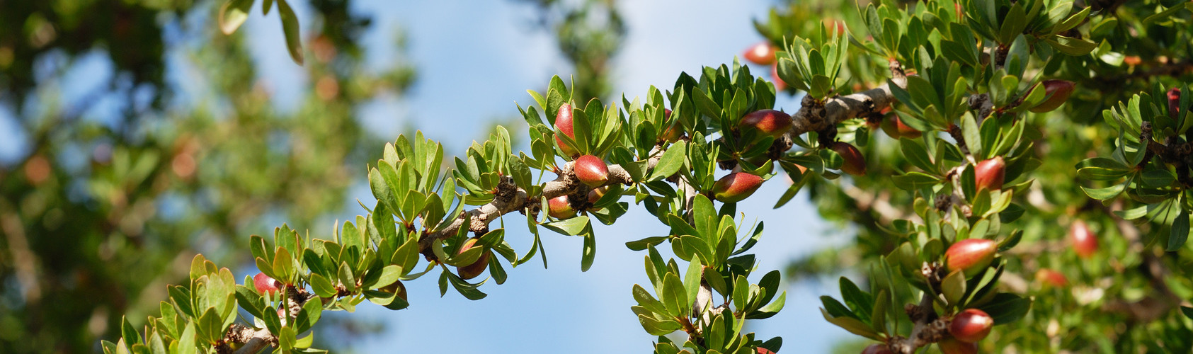 Argan fruit branch