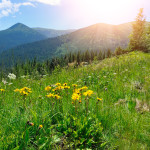 Arnica flowers (Arnica montana) on a background of mountains and blue sky