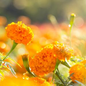 Orange marigold flowers with water drop in the morning