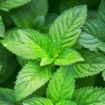 mint leaves up close