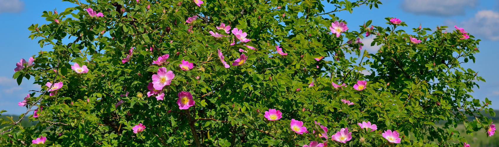 Dog Rose Tree with pink flower in bloom