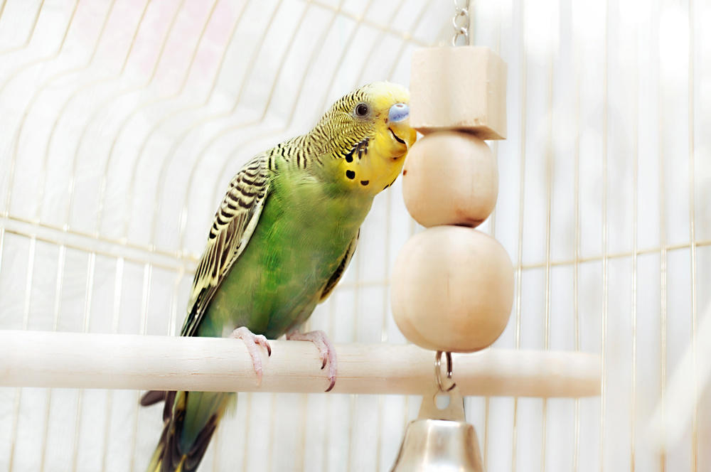 Green domestic budgie sitting with his toy friend.