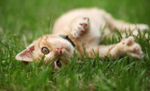 Playful kitten rolling in grass - Common Paw Problems and How to Avoid Them