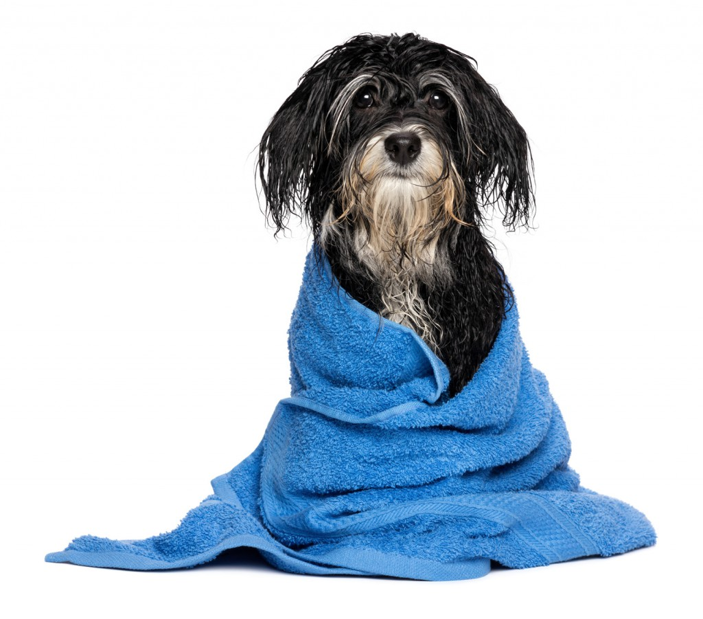 A wet havanese puppy dog after bath is dressed in a blue towel, isolated on white background