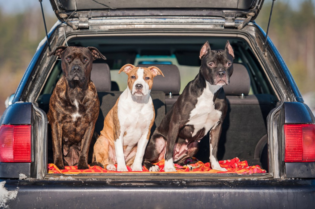 Three american staffordshire terrier dogs sitting in a car