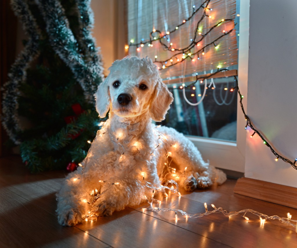 Beautiful white dog posing with Christmas lights