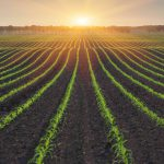 Growing Plants at Sunset - grains used to create sodium phyate