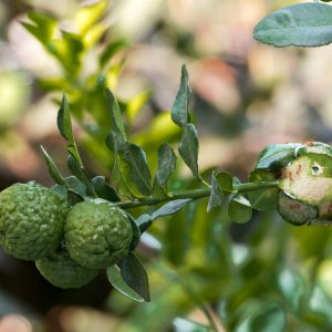 The bergamot fruit and their branch and ant nest beside