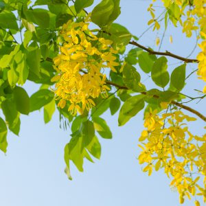 Cassia Leaf Oil Source