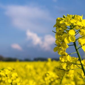 Rapeseed Plant/Canola Plant